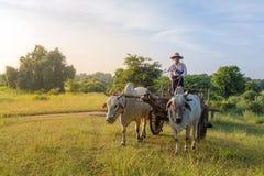 驾驶oxcart的未认出的缅甸农夫在日出期间在Bagan,缅甸 免版税库存图片