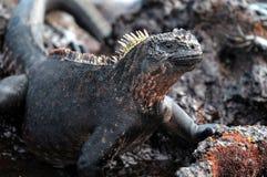 骄傲加拉帕戈斯的鬣鳞蜥 库存图片