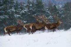 骄傲地佩带他的鹿角的庄严动物 免版税库存图片