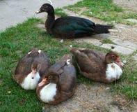 骄傲地摆在围场的4只逗人喜爱的鸭子 库存照片