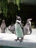骄傲地站立与与他的头的企鹅 免版税库存照片