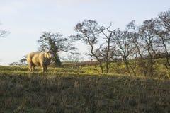 骄傲地站立在一个领域的一只大无角的公羊在唐郡在北爱尔兰 免版税图库摄影