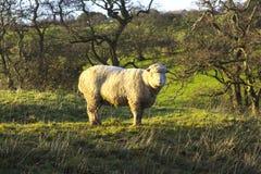 骄傲地站立在一个领域的一只大无角的公羊在唐郡在北爱尔兰 库存图片