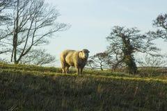 骄傲地站立在一个领域的一只大无角的公羊在唐郡在北爱尔兰 免版税库存图片