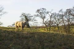 骄傲地站立在一个领域的一只大无角的公羊在唐郡在北爱尔兰 库存照片