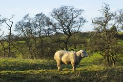 骄傲地站立在一个领域的一只大无角的公羊在唐郡在北爱尔兰 图库摄影