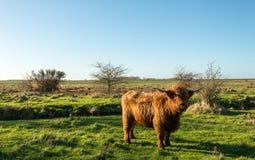 骄傲摆在苏格兰高地居民母牛 免版税图库摄影