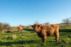 骄傲摆在苏格兰高地居民母牛 免版税库存照片