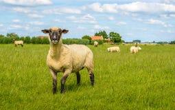 骄傲摆在黑朝向的绵羊 免版税库存照片