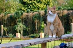 骄傲猫的范围 免版税库存图片