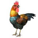 骄傲的公鸡 库存照片