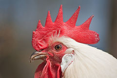骄傲的公鸡 免版税库存照片