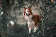 骄傲的博德牧羊犬狗 免版税库存照片
