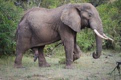 骄傲的大象 库存照片
