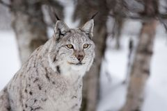 骄傲的天猫座在冬天森林里 免版税库存照片