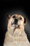 骄傲的狗 免版税库存图片