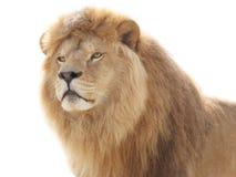 骄傲的狮子 库存图片