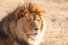 骄傲的狮子 免版税库存照片
