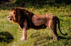 骄傲的狮子 库存照片