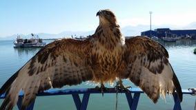骄傲的猎鹰 免版税库存图片