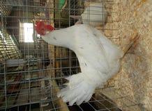骄傲的白色来克亨鸡母鸡 免版税库存图片