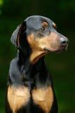 骄傲的短毛猎犬 免版税库存照片