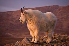骄傲的石山羊 库存照片
