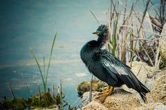 骄傲的美洲蛇鸟 免版税库存照片