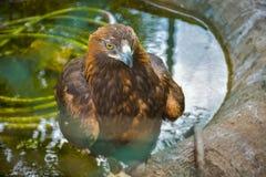 骄傲的老鹰在莫斯科动物园里 库存照片