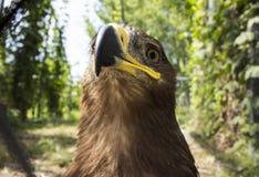 骄傲的老鹰的照片 免版税库存照片