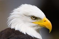 骄傲的老鹰 库存图片