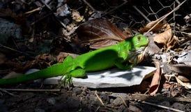 骄傲的蜥蜴 免版税库存照片