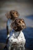 骄傲的西班牙猎狗蹦跳的人工作 图库摄影