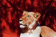 骄傲的雌狮 库存图片