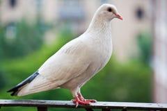 骄傲的鸽子 免版税库存图片