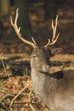 骄傲的鹿 库存照片