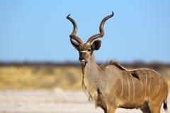 骄傲的kudu公牛 库存照片