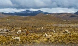 骆马、羊魄和骆马在安地斯,秘鲁 库存图片
