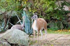 骆马之类与更加了不起的丽亚的喇嘛guanicoe 库存照片