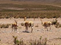 骆马之类 免版税库存照片