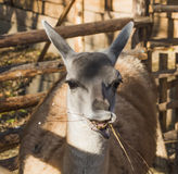 骆马之类(喇嘛) 免版税库存图片