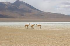 骆马之类沙漠bolÃvia 免版税图库摄影