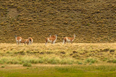 骆马之类牧群 免版税库存照片
