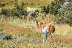 骆马之类,托里斯del潘恩国家公园,智利 免版税库存图片