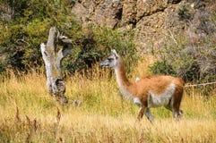 骆马之类,托里斯del潘恩国家公园,智利 免版税库存照片