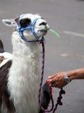 骆马乘驾 免版税图库摄影