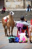 骆马乘驾 库存照片