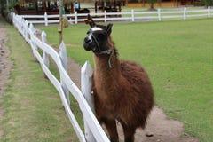 骆马反刍动物哺乳动物 免版税库存照片
