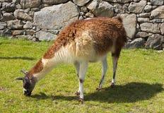 骆马吃草在马丘比丘的,秘鲁 库存照片