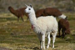 骆马和羊魄在北智利的Altiplano 免版税库存照片